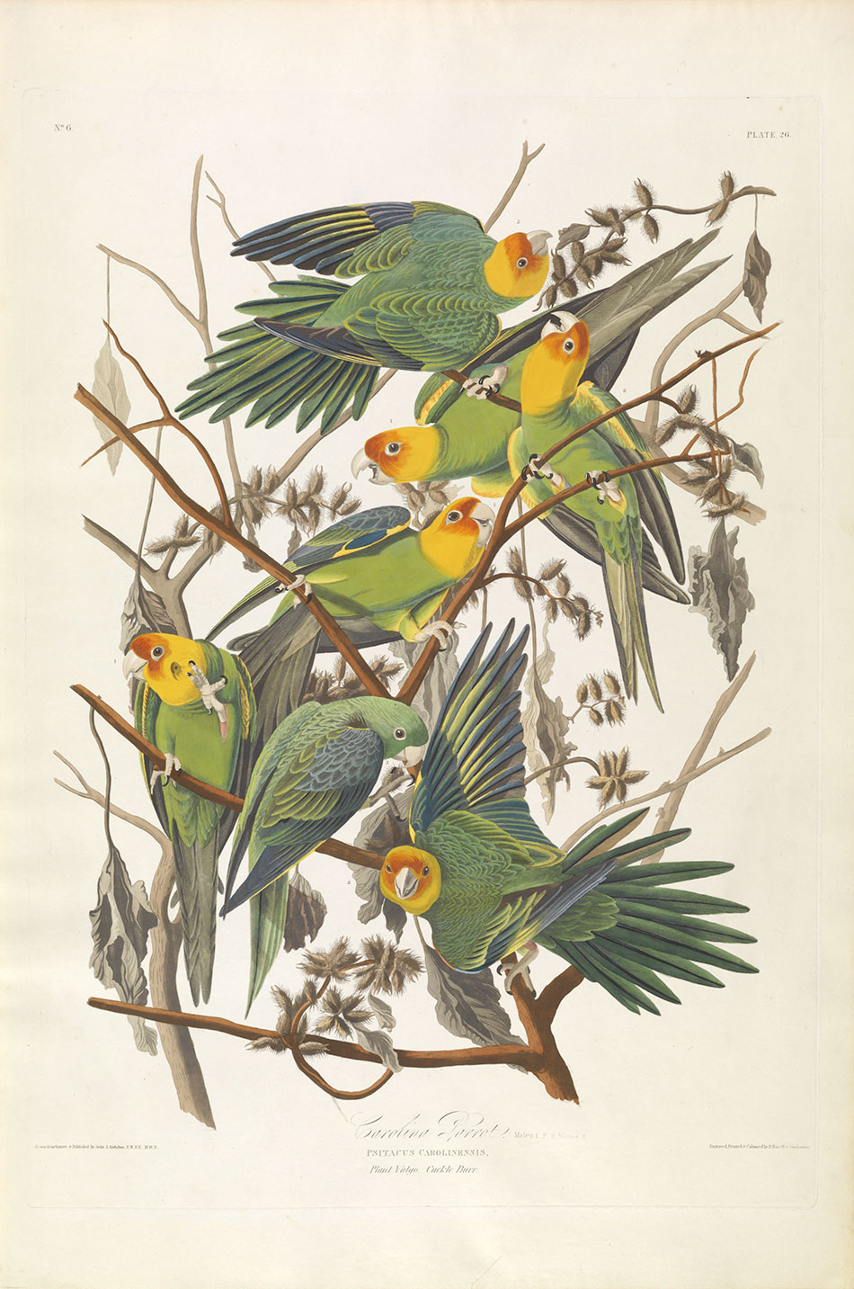 carolina-parrot__john-james-audubon