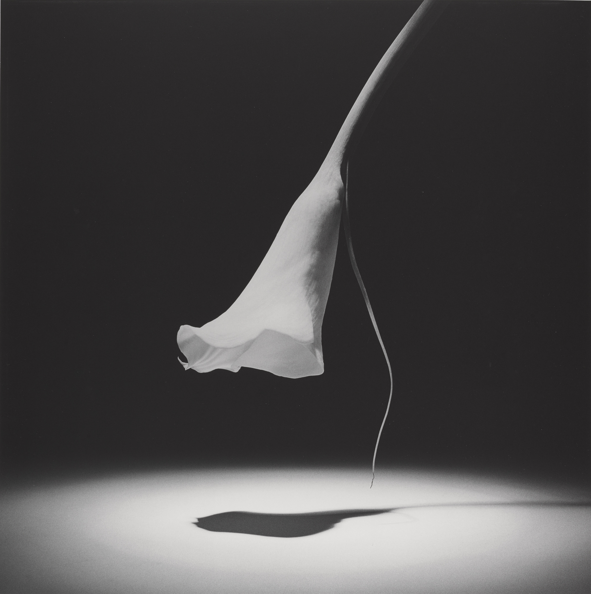 robert-mapplethorpe_calla-lilly