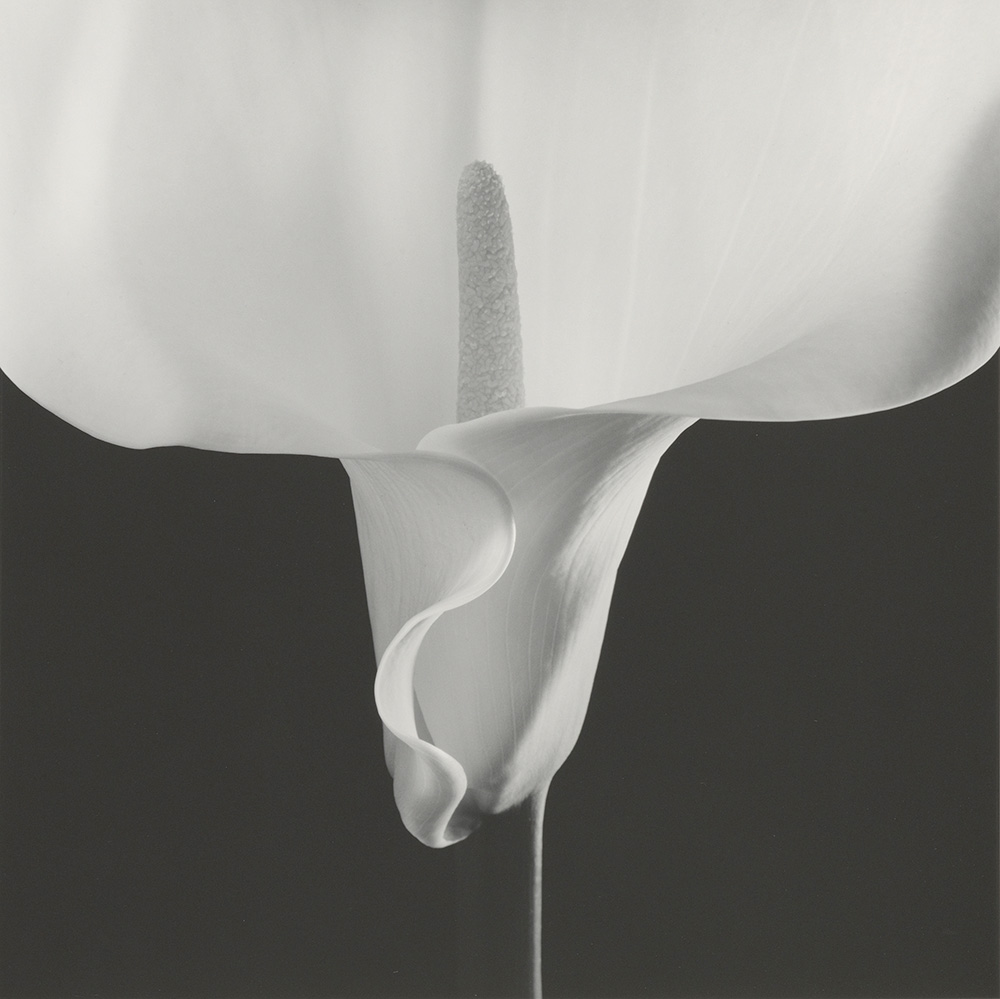 robert-mapplethorpe_calla-lily