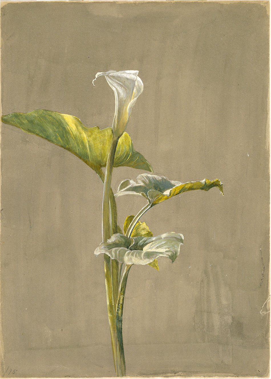 Fidelia-Bridges_-alla-Lily_1875_4104-012_Brooklyn-Museum,-New-York,-Museum-Collection-Fund_950w
