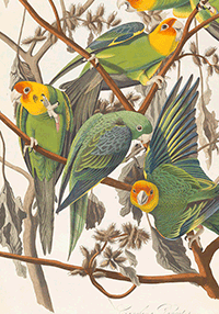 carolina-parrot__john-james-audubon_200-segunda